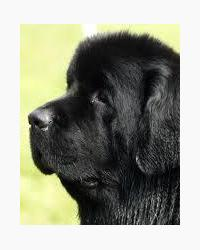 Newfoundland dog honey