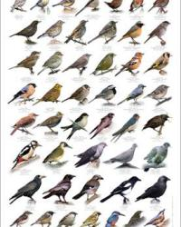 Guide to common birds in Greater London