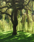 What lies Beneath the Weeping Willow.