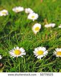 The Daisy Meadow