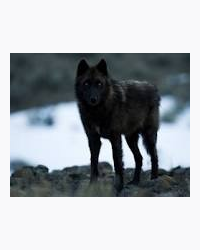 The Black Wolf With Blue Eyes