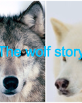The wolf story