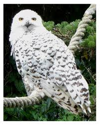 Hedwig's Eyes (Year One)