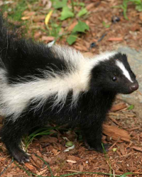 Punk the Skunk