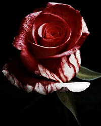 Roses Just Happen to be Red