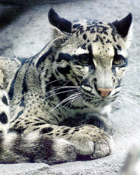 Clouded Leopards Diary