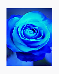 Blue Rose (Twilight Fanfic)