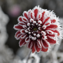 Frostyflower