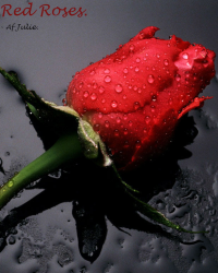 Red roses. - 1D.