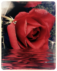 Tears, Roses, and Desparation